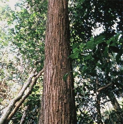 タヒボの木